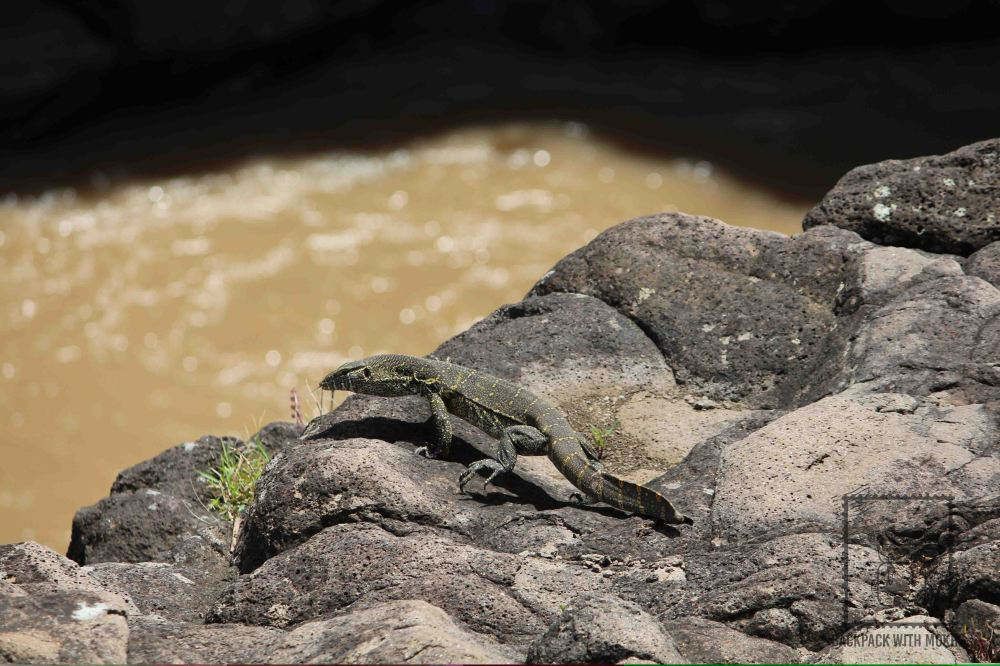 Monitor Lizard at the edge of the river bank