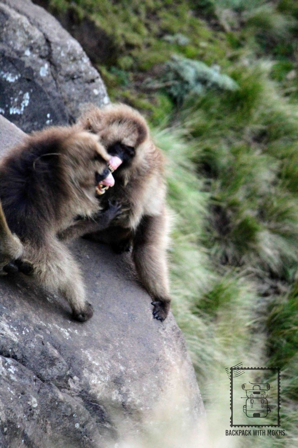 Gelada baboons fighting at the edge of cliff